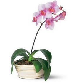 Lavender Phalaenopsis Orchid